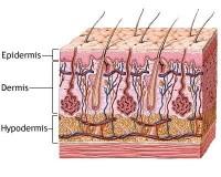 afbeelding huiddoorsnede